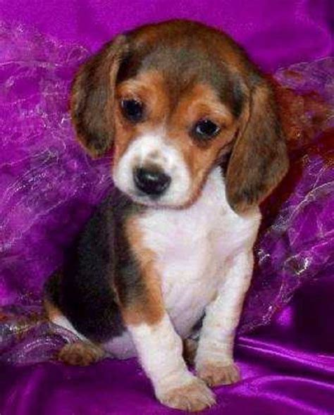 beagle puppies for sale in arkansas beagle puppies for sale in arkansas zoe fans baby animals