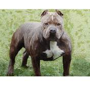 Short Bully Pit Bulls Submited Images