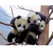 Wallpapers Funny Panda