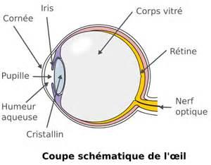 fonctionnement de l oeil