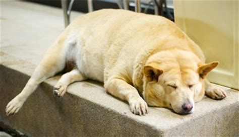 diabetes in dogs weight loss program for pcos