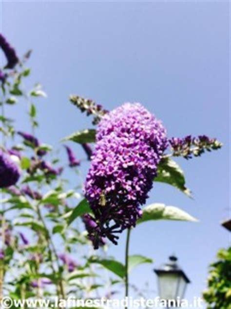 pianta con fiori viola a grappolo buddleja viola lochinch l albero delle farfalle