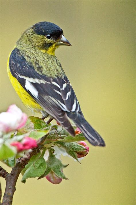themes goldfinch 25 best ideas about goldfinch on pinterest pretty birds