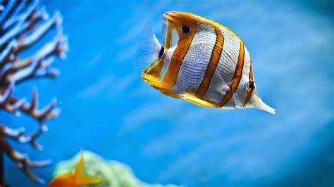 Lu Akuarium Warna Warni ikan hias butterfly dunia akuarium