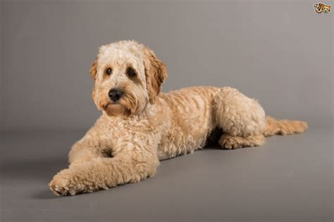 lifespan of cocker poodle cocker spaniel or cockapoo which is right for you