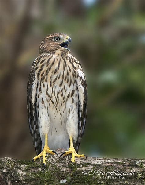 juvenile cooper s hawk photograph by mike fitzgerald