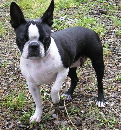 boston terrier pictures boston terrier pictures of dogs and all about