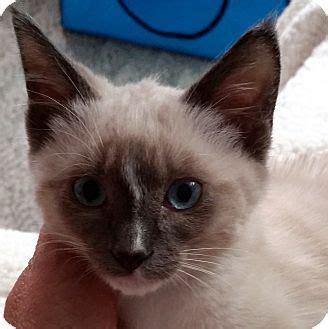 adoption portland oregon portland or siamese meet a kitten for adoption