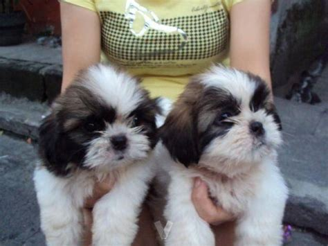 shih tzu breeders maryland adoptable shih tzu puppies for re homing petzlover