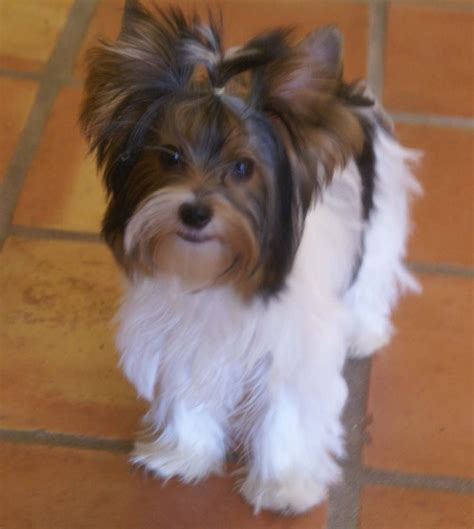 yorkie ear hair removal pin biewer terrier fem puppiessold for sale in angeles city on