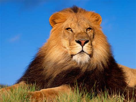 imagenes de leones animales fonditos alerta animales leones mascotas felinos