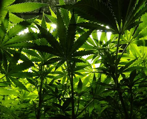 how does the color spectrum of light affect growing marijuana plants grow weed easy