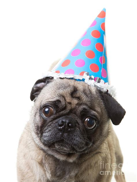 happy birthday pug happy birthday pug card photograph by edward fielding