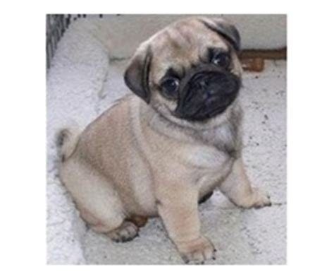 pug puppies for sale in chattanooga tn burgeoning maltese puppies for sale animals chattanooga tennessee announcement