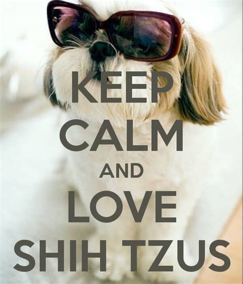 when will my shih tzu calm 17 best images about shih tzu happens shih tzu shih tzu mix dogs on