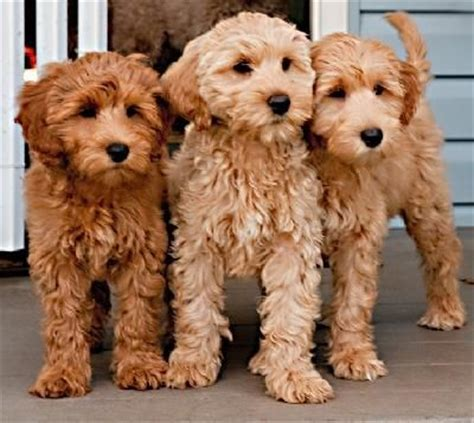 mini goldendoodles louisiana best 25 poodle haircut ideas on poodles