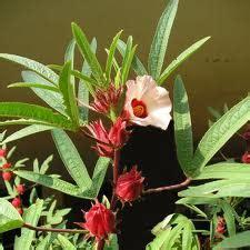 Bibit Rosella bibit bunga bibit bunga rosella