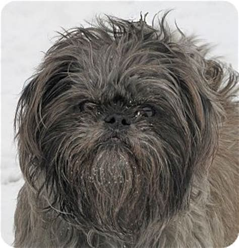 brussels griffon and shih tzu mix gus adopted woodstock il shih tzu brussels griffon mix