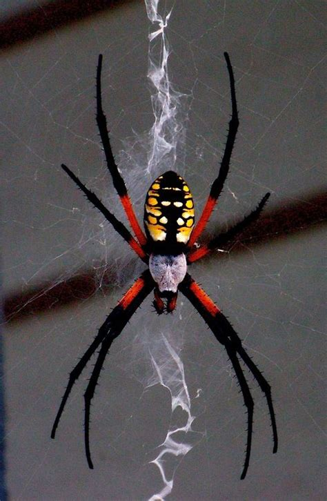yellow pattern back spider black and yellow argiope creeping crawling flying