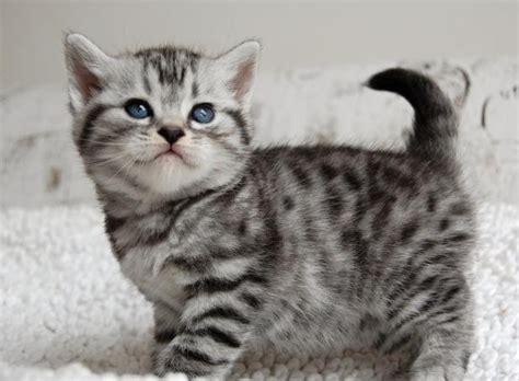 britse korthaar kittens voor katten dieren dieren britse korthaar kittens zoekertjes net