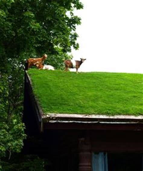 find out why these goats are on the roof of this wisconsin