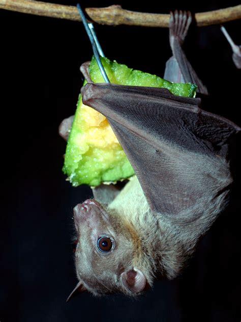egyptian fruit bat bat facts and information