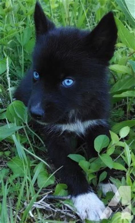 black husky puppies for sale all black siberian husky puppy ok pictures baby blue