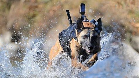 navy seal dogs amazing navy seal dogs helped nab bin laden all things