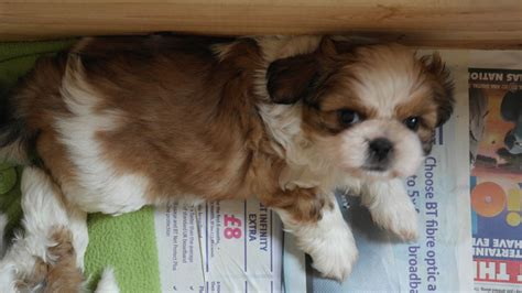 brindle and white shih tzu brindle white shih tzu puppies for sale stalybridge greater manchester pets4homes