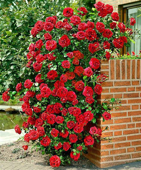 Red Kitchen by Buy Climbing Rose Santana 174 Bakker Com