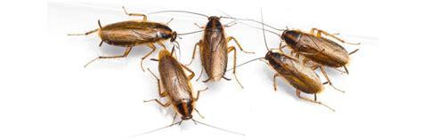 sognare insetti volanti scarafaggi in bagno femmina di cerambyx cerdo with