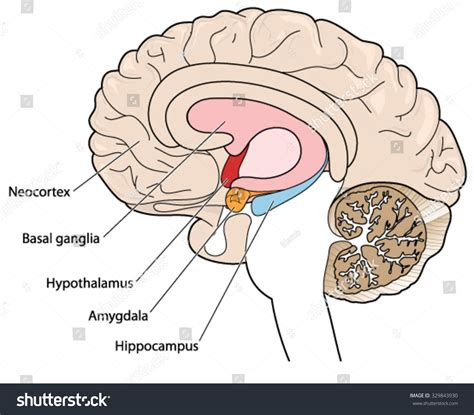 Cross Section Of A Brain by Brain Cross Section Showing Basal Ganglia Stock Vector