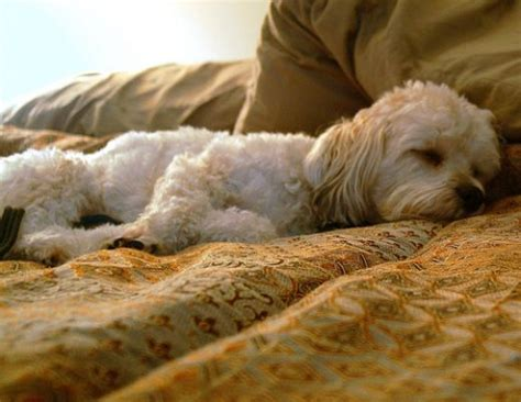 why do dogs on the bed why do dogs sleep at the foot of the bed hubpages