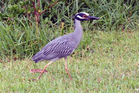 new backyard bird nyctanassa violacea the yellow crowned