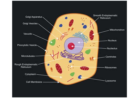 labeled diagram   animal cell   organelles