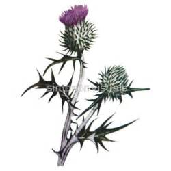 thistle drawing scottish thistle drawing trending