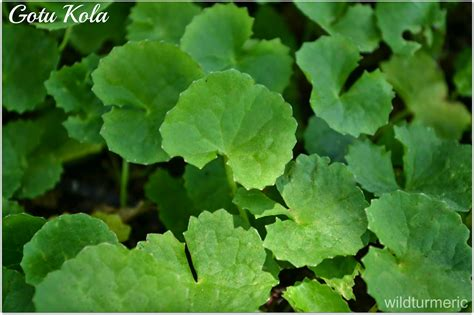 gotu kola pegagan 5 amazing benefits uses of gotu kola centella asiatica