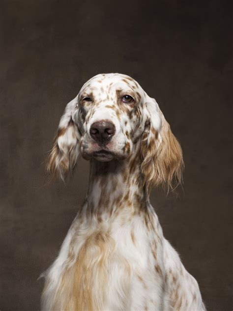 english setter dog adoption 78 best images about english setter on pinterest