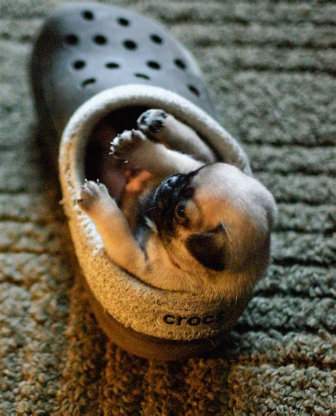 shoes for pugs pugs in shoes archives about pug
