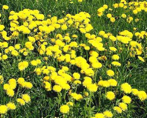 tarassaco fiore tarassaco taraxacum officinale propriet 224 medicinali
