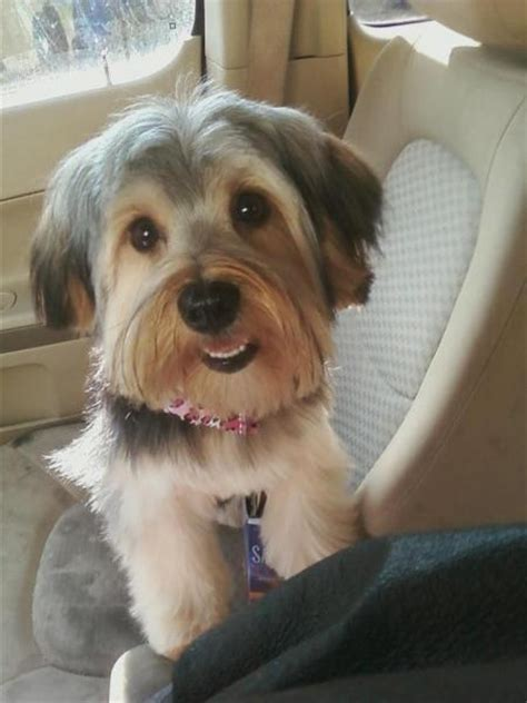 blonde shorkie haircuts 1000 images about shorkie love on pinterest
