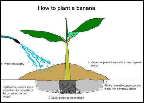 bananas randy s tropical plants