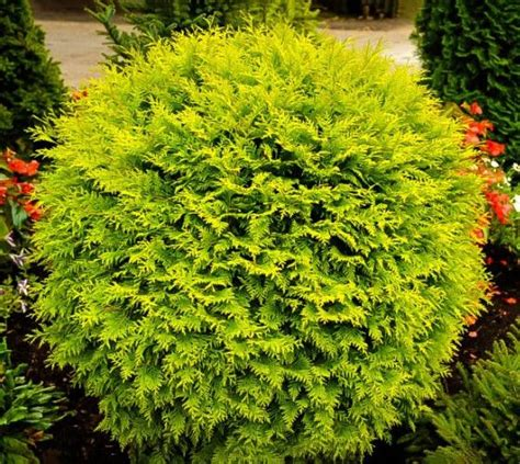 dwarf shrubs evergreen 25 best ideas about thuja occidentalis on privacy trees privacy landscaping and