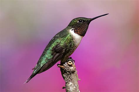 ruby throated hummingbird info facts photos and artwork