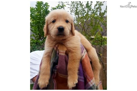 golden retriever houston tx golden retriever puppy for sale near houston