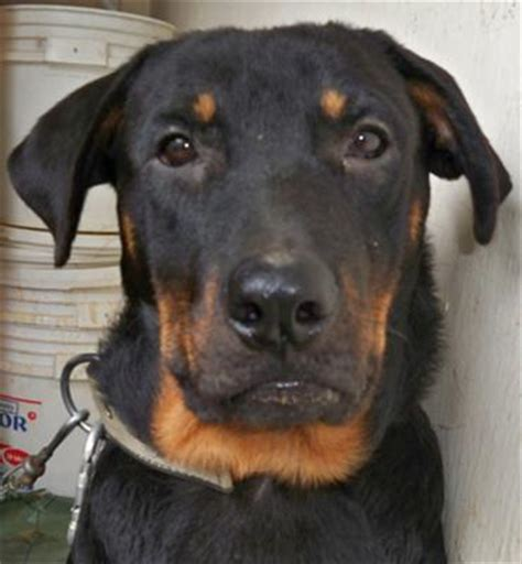 half german shepherd half rottweiler rottweiler picture gallery view amazing pictures contributed by visitors