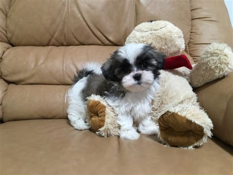 shih tzu breeders florida maltese shih tzu mix puppies for sale in florida