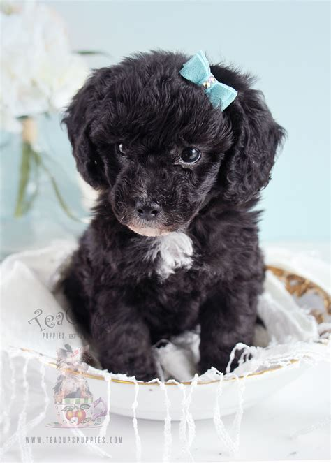 poodle puppy for sale bulldog puppy for sale south florida teacups puppies boutique