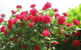 Rose Flower Images by Wallpapers Rose Flowers Wallpapers