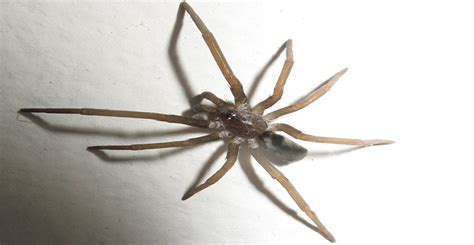 southern house spider ask wet forget venomous spiders toxic bites vs non toxic bites ask wet forget